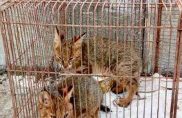 کشف دو قلاده گربه جنگلی از شکارچی متخلف