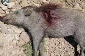شکارچی گراز شهرستان رضوانشهر دستگیر شد