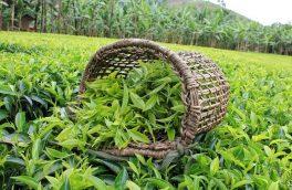تجلی وحدت کلمه مورد تاکید رهبر معظم انقلاب در عملکردهای سازمان چای و صندوق حمایت از توسعه صنعت چای کشور